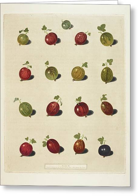 Gooseberries Greeting Card by British Library
