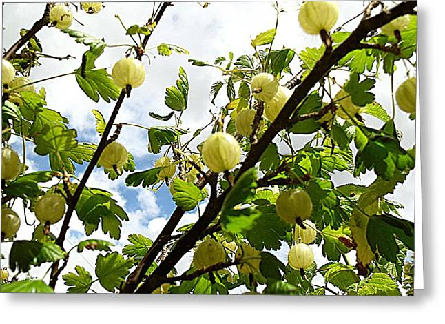 Fruit Tree Art Greeting Cards - Gooseberry Bush Greeting Card by Patrick J Murphy