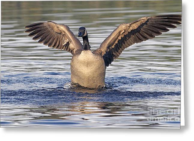 Gooseflapping 3 Greeting Card by Sharon Talson
