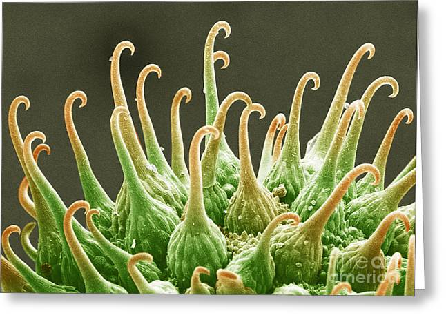 Adhesive Greeting Cards - Goosegrass Fruit, Sem Greeting Card by Andrew Syred