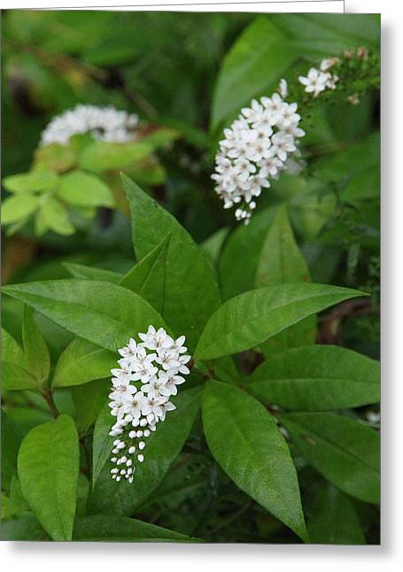 Gooseneck Loosestrife Greeting Cards - Gooseneck Loosestrife Greeting Card by Beth Johnston