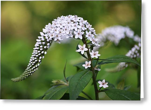 Gooseneck Loosestrife Greeting Cards - Gooseneck Loosestrife Greeting Card by Carrie Munoz