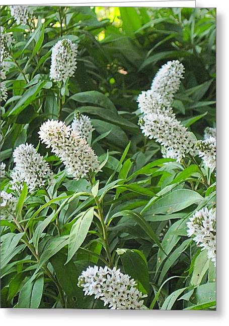 Gooseneck Loosestrife Greeting Cards - Gooseneck Loosestrife Greeting Card by Doug Morgan