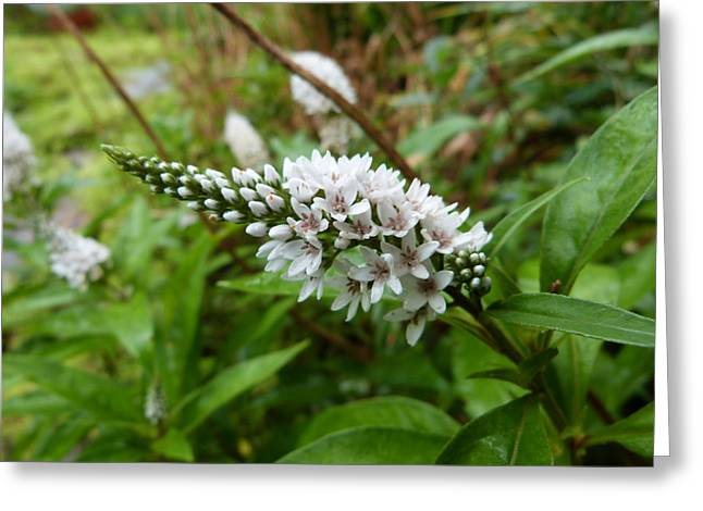 Gooseneck Loosestrife Greeting Cards - Gooseneck Loosetrife Greeting Card by Design Online