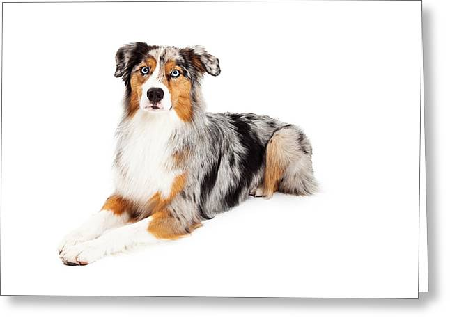 Domestic Animals Photographs Greeting Cards - Gorgeous Australian Shepherd Dog Laying Greeting Card by Susan  Schmitz