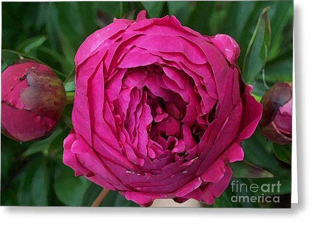 Fushia Greeting Cards - Gorgeous Cabbage Rose Peony Greeting Card by Maureen Tillman
