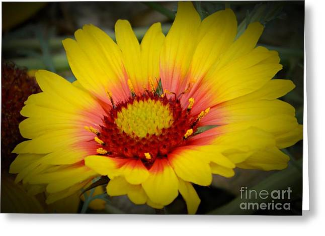 Gorgeous Daisy Greeting Card by Chalet Roome-Rigdon