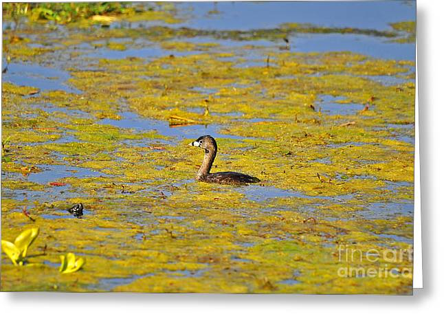 Gorgeous Grebe Greeting Card by Al Powell Photography USA