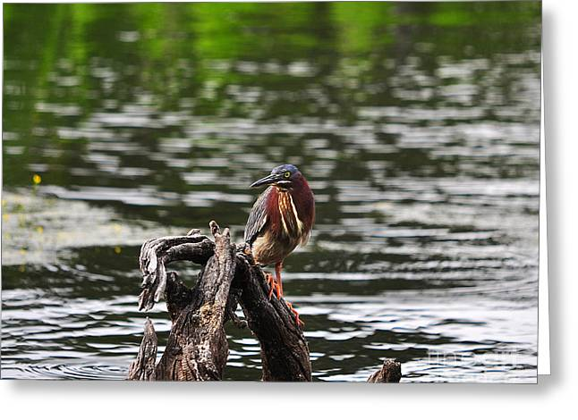Al Powell Photography Usa Greeting Cards - Gorgeous Green Heron Greeting Card by Al Powell Photography USA
