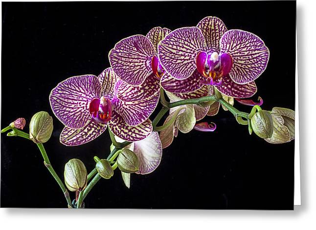 Gorgeous Greeting Cards - Gorgeous Orchids Greeting Card by Garry Gay