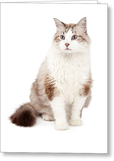 Full-length Portrait Photographs Greeting Cards - Gorgeous Ragdoll Cat Sitting Greeting Card by Susan  Schmitz