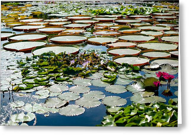 Water Lilly Greeting Cards - Gorgeous water lilies Greeting Card by Frank Gaertner
