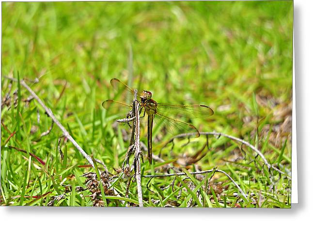 Dragon Fly Photo Greeting Cards - Gorging Golden-winged Greeting Card by Al Powell Photography USA