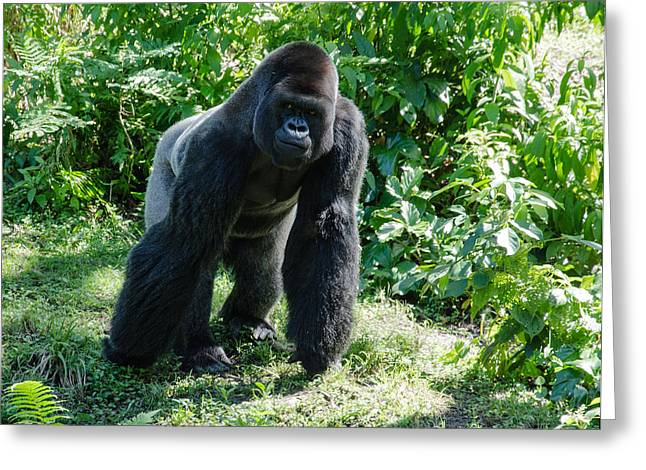Jim Cook Greeting Cards - Gorilla In The Midst Greeting Card by Jim Cook