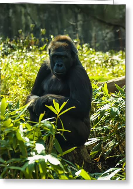 Animal Pics Greeting Cards - Gorilla sitting on a stump Greeting Card by Chris Flees