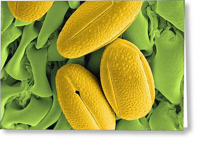 Scanning Electron Microscope Greeting Cards - Gorse Pollen Grains, Sem Greeting Card by Peter Bond, Electron Microscope Centre, University of Plymouth