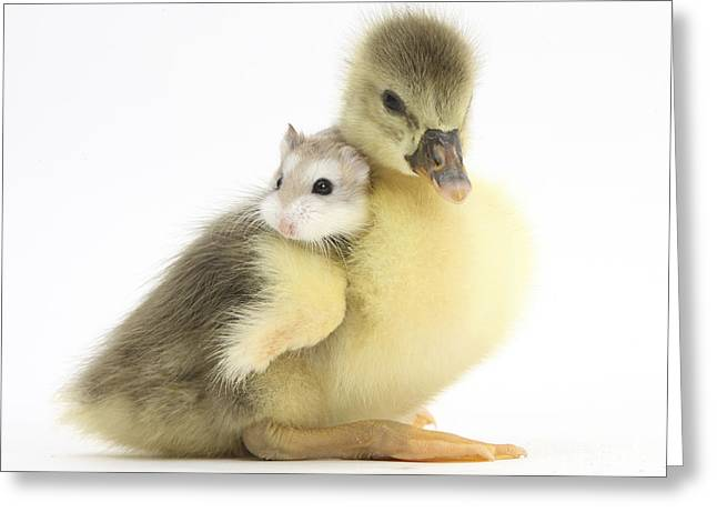 House Pet Greeting Cards - Gosling And Roborovski Hamster Greeting Card by Mark Taylor