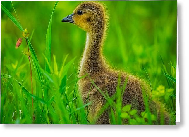 Canadian Geese Greeting Cards - Gosling Greeting Card by Paul Freidlund