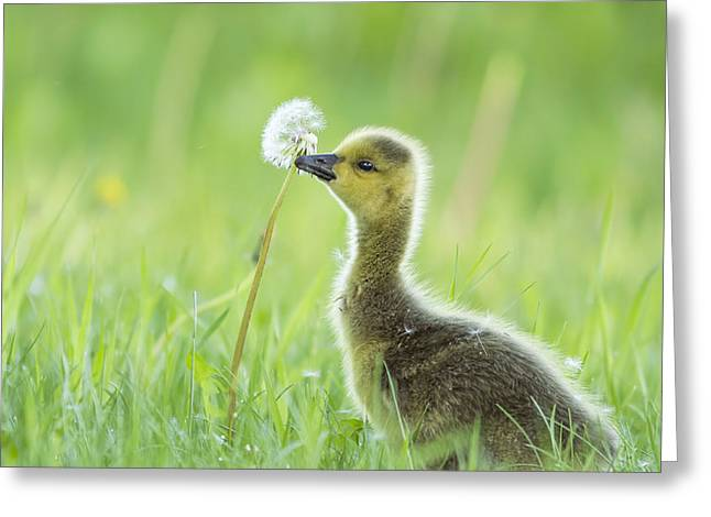 Baby Bird Greeting Cards - Gosling with Dandelion Greeting Card by Mircea Costina Photography