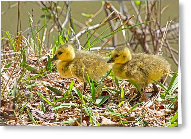 Family Time Greeting Cards - Goslings Greeting Card by Betsy A  Cutler