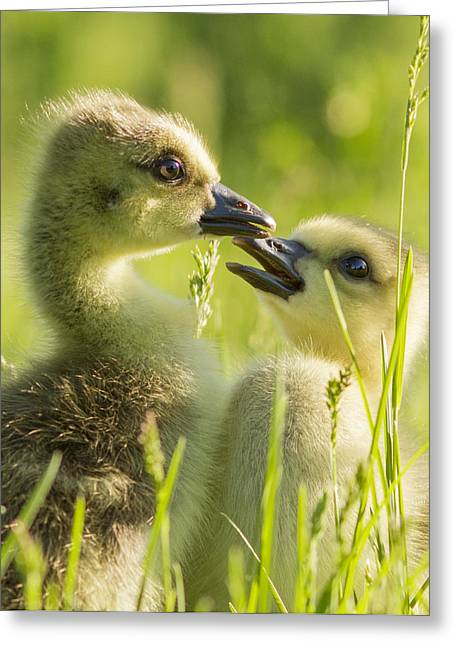Baby Bird Greeting Cards - Goslings portrait Greeting Card by Mircea Costina Photography