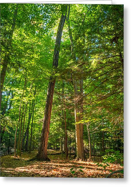 Rochester Artist Greeting Cards - Gosnell Big Woods Trees Greeting Card by Tim Buisman