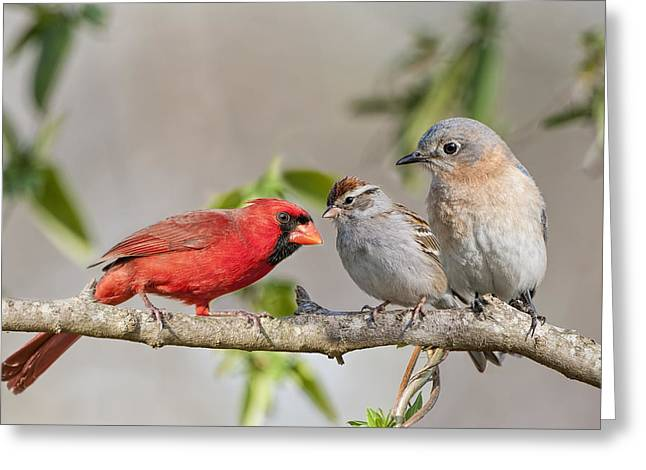 Chipping Sparrow Greeting Cards - Gossip Session Greeting Card by Bonnie Barry