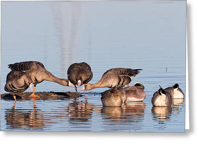 Winter Migrants Greeting Cards - Gossiping Geese Greeting Card by Kathleen Bishop