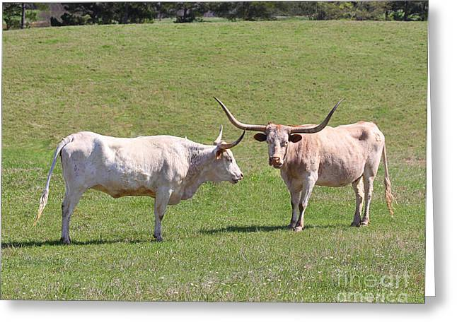 Catherine White Greeting Cards - Gossiping Texas Longhorns Greeting Card by Catherine Sherman