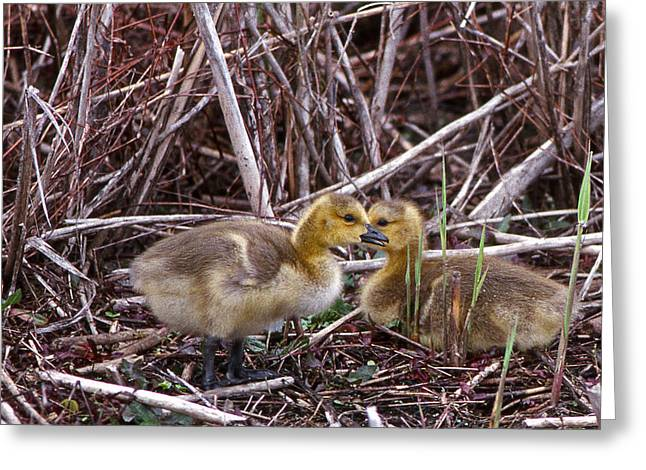 Photos Of Birds Greeting Cards - Gosslings A Pair Greeting Card by Skip Willits