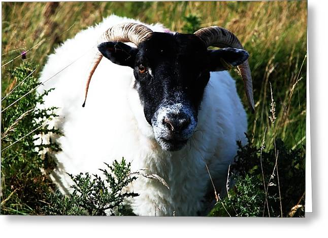 Scottish Blackface Greeting Cards - Got My Eye on Ewe Greeting Card by Michelle Bailey