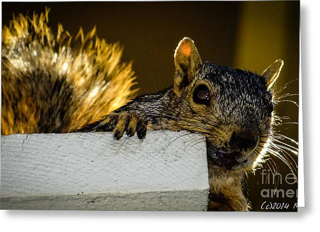Fox Squirrel Greeting Cards - Got Nuts? Greeting Card by  rdm-Margaux Dreamations