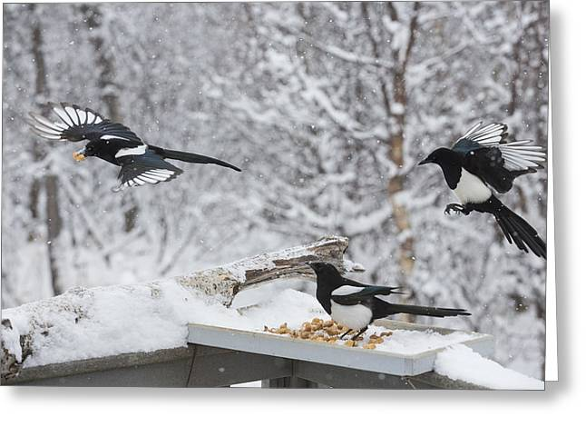 Magpies. Snow Greeting Cards - Grabbing the Goodies Greeting Card by Tim Grams