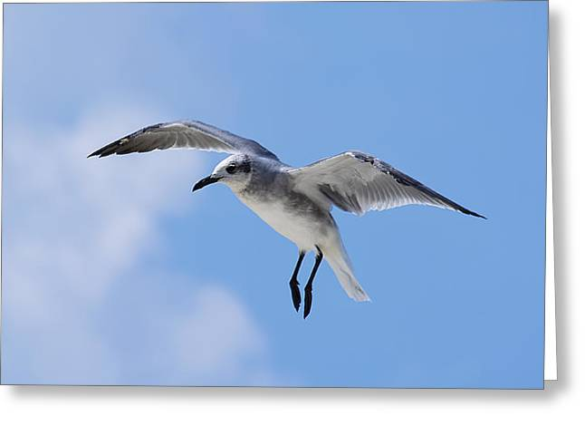 Flying Seagull Greeting Cards - Grace in Flight Greeting Card by Kenneth Albin