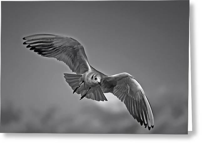 Flying Seagull Greeting Cards - Graceful Flight Greeting Card by Mountain Dreams