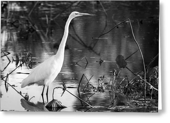Evening Greeting Cards - Graceful Great Egret in black and white Greeting Card by Ellie Teramoto