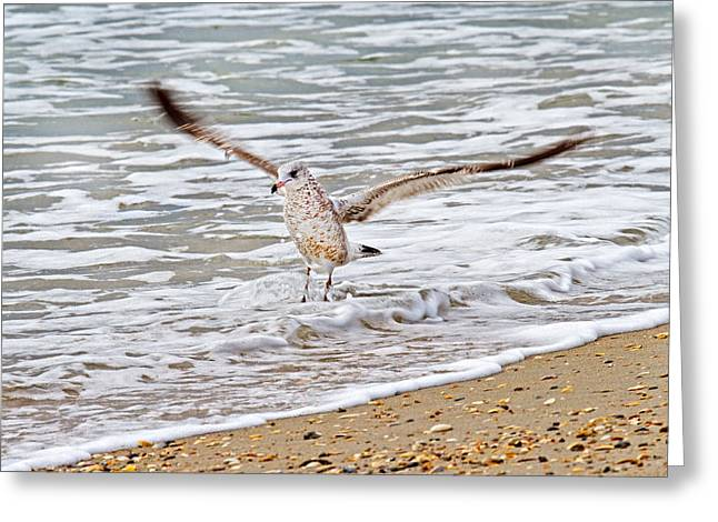 Sea Gulls Greeting Cards - Graceful Landing Greeting Card by Betsy C  Knapp