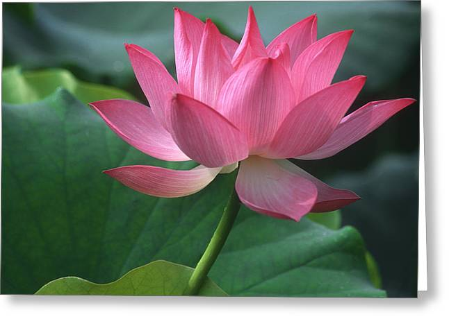 Lotus Leaves Greeting Cards - Graceful lotus Greeting Card by Elvira Butler