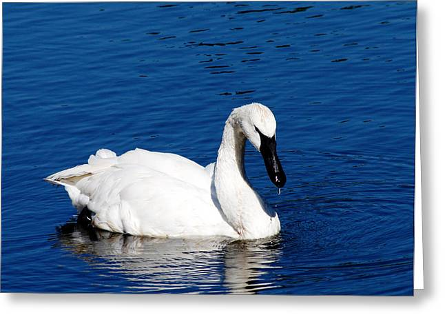 Swans... Photographs Greeting Cards - Graceful Swan Greeting Card by Rebecca Cozart