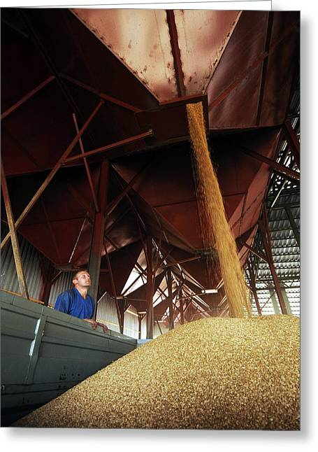 Manual Greeting Cards - Grain being loaded into a truck Greeting Card by Science Photo Library