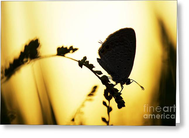 Gram Greeting Cards - Gram Blue Butterfly Silhouette Greeting Card by Tim Gainey