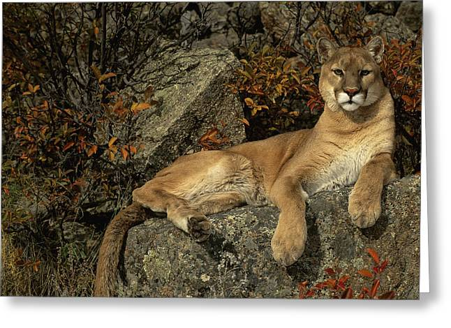 Predating Greeting Cards - Grambo Mm-00003-302, Adult Male Cougar Greeting Card by Rebecca Grambo
