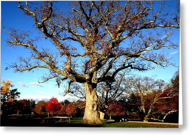 Kate Gallagher Greeting Cards - Grand Old Oak Greeting Card by Kate Gallagher