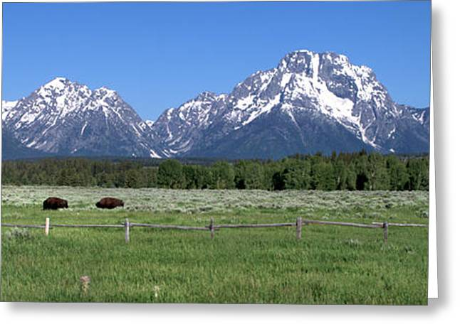 Grazing Snow Greeting Cards - Grand Teton Buffalo Greeting Card by Brian Harig