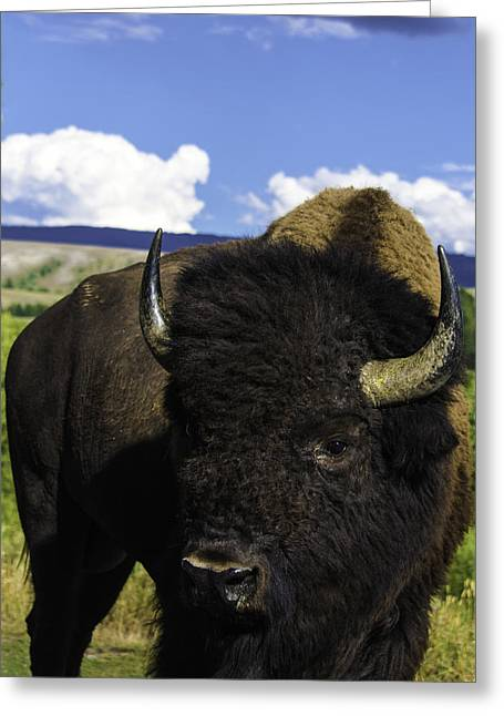 Bison Photos Greeting Cards - Grand Teton National Park Bison Greeting Card by Brian Harig