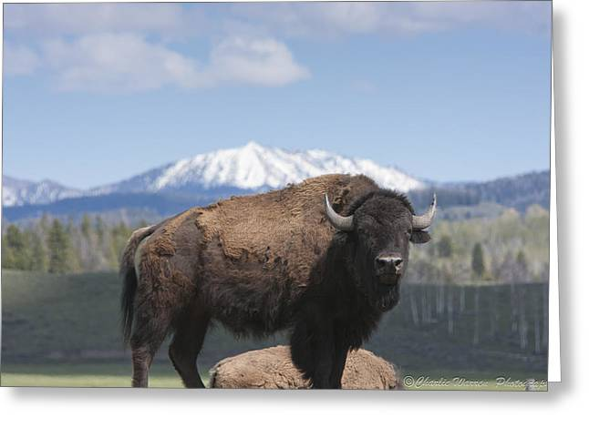 Grand Tetons Bison Greeting Card by Charles Warren
