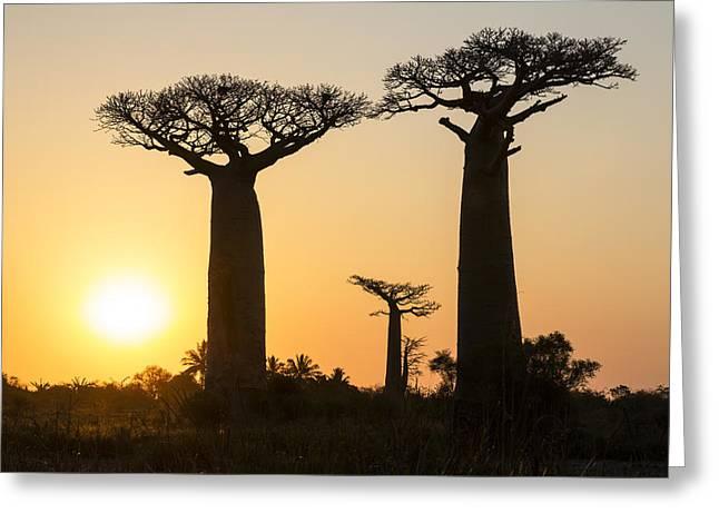 Baobab Greeting Cards - Grandidiers Baobabs At Sunset Madagascar Greeting Card by Konrad Wothe