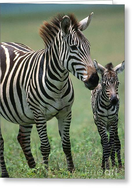 Zebra Colt Greeting Cards - Grants Zebra With Young Greeting Card by W. Wisniewski