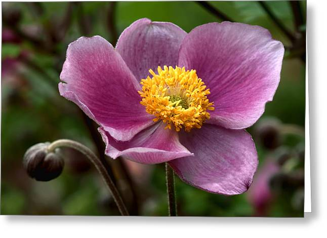 Purple Grapes Greeting Cards - Grape Anemone Greeting Card by Nikolyn McDonald
