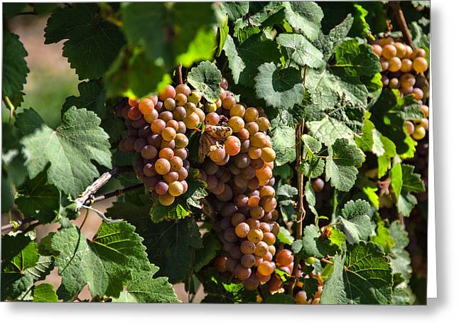 Concord Grapes Greeting Cards - Grape Clumps Greeting Card by Linda Muir